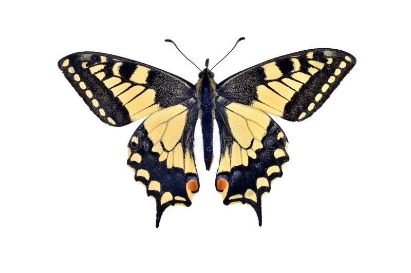 Farfalla Papilio Machaon di coda di rondine del vecchio mondo, isolato su w fotografie stock