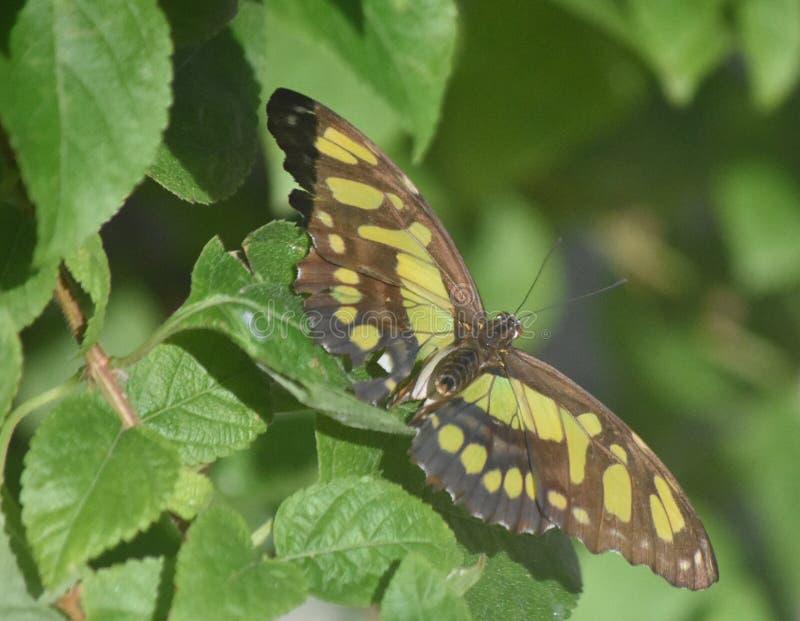 Farfalla perfetta della malachite dell'immagine su una foglia verde fotografie stock