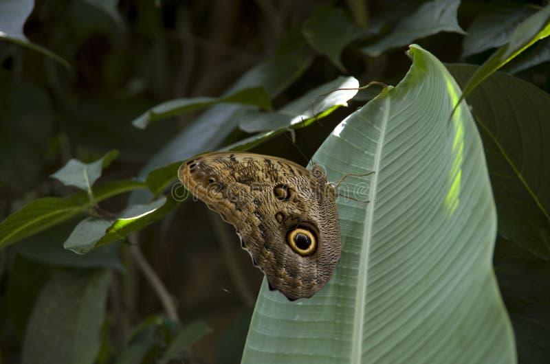 Farfalla in permesso della banana fotografia stock