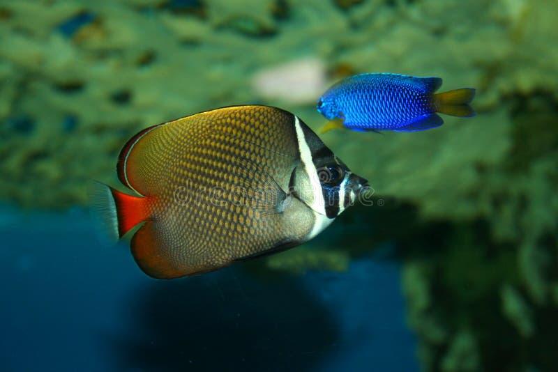 Farfalla-pesci fotografia stock libera da diritti