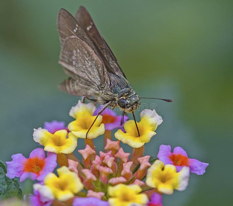 Farfalla Rapida: Raccolti di nettarolo da fiori immagini stock
