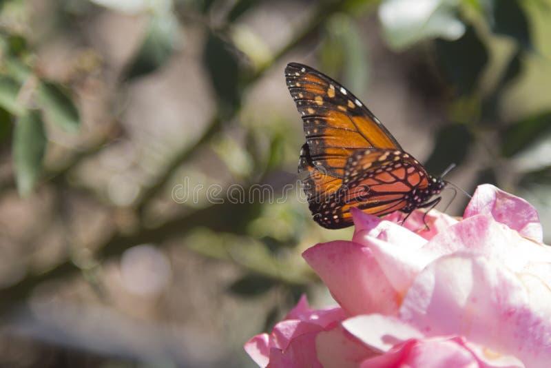 Farfalla Rosedal de Palermo Buenos Aires Argentina America Latina Sudamerica piacevole immagine stock
