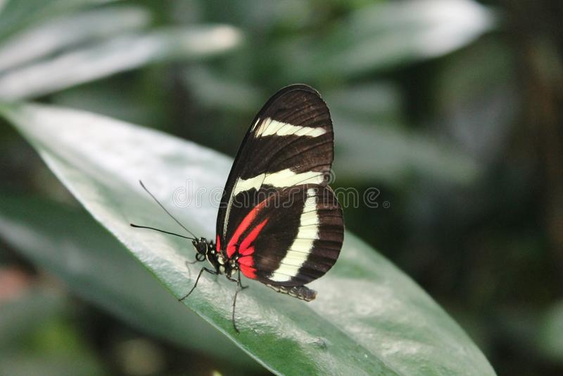Farfalla Rosso-Bianco-nera nello zoo di Copenhaghen immagine stock