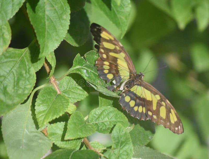 Farfalla sbalorditiva della malachite con le ali verdi e nere fotografia stock