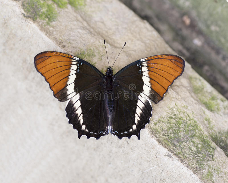 Farfalla Spazzola-footed della pagina Arrugginito-fornita di punta macro fotografia stock