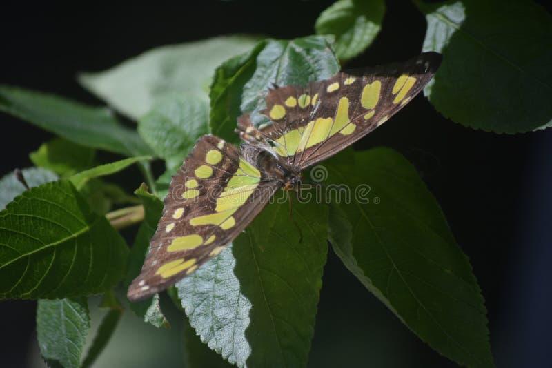 Farfalla splendida della malachite con la sua diffusione delle ali aperta immagine stock libera da diritti