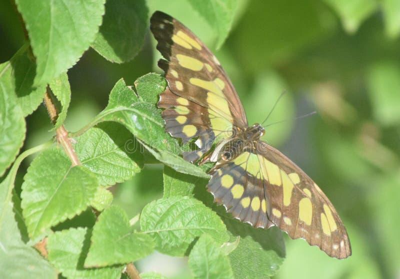 Farfalla strabiliante della malachite appollaiata sulle foglie in un giardino fotografie stock