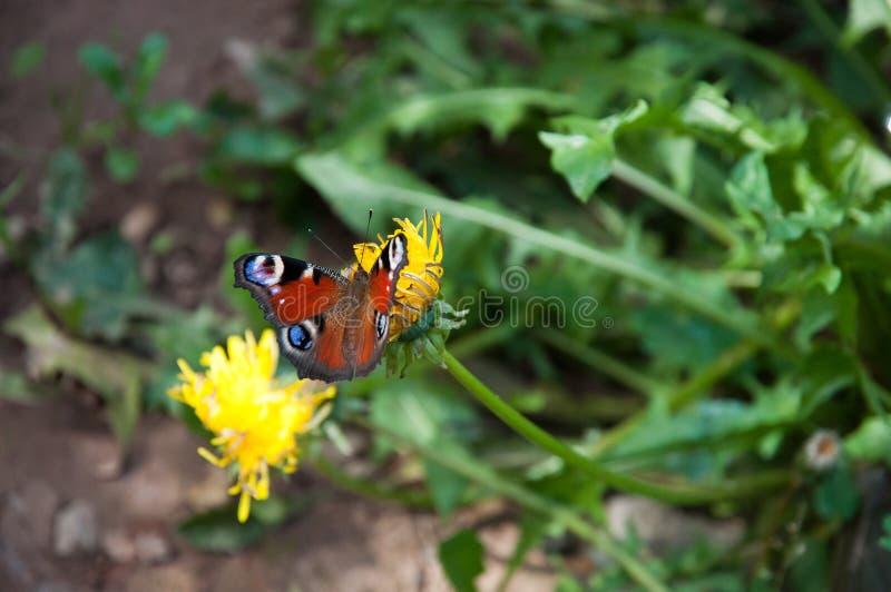 farfalla su estate del dente di leone del fiore immagini stock libere da diritti