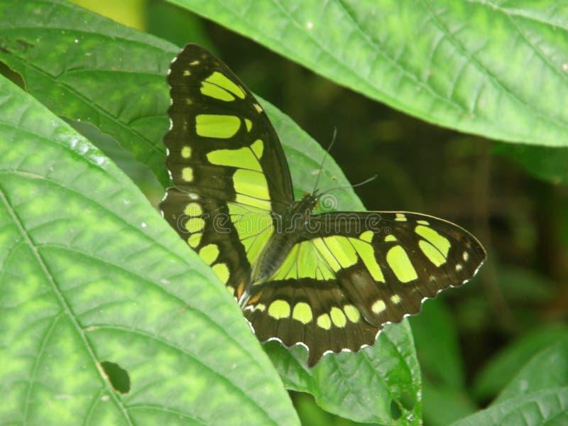 Farfalla su un'azienda agricola in Costa Rica immagine stock