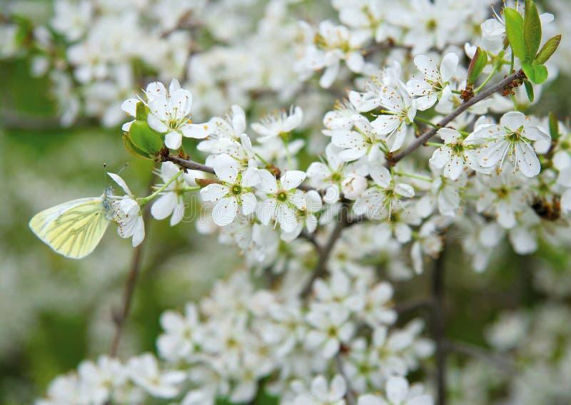 Farfalla su un cespuglio dei fiori di ciliegia fotografie stock libere da diritti