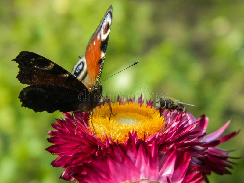 Farfalla su un fiore del giardino fotografia stock