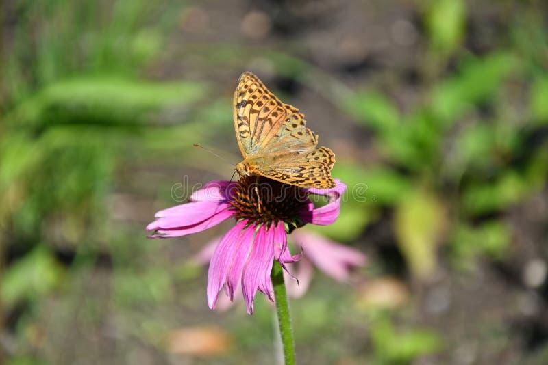 Farfalla su un fiore della margherita nell'ora legale fotografia stock libera da diritti