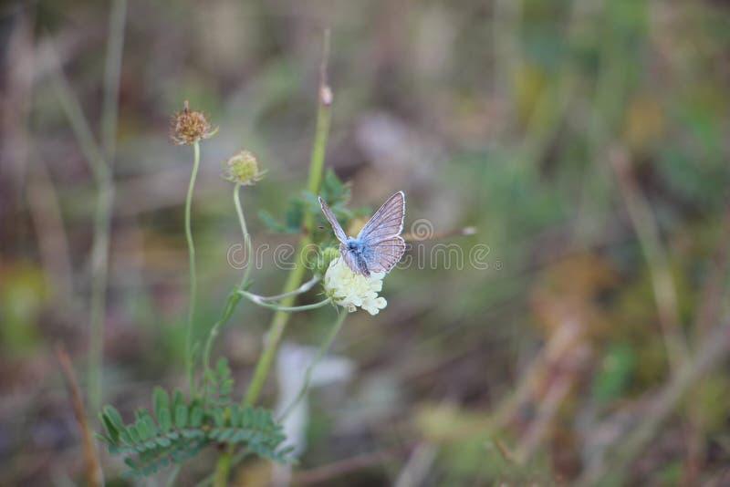 Farfalla su un fiore di fioritura immagini stock