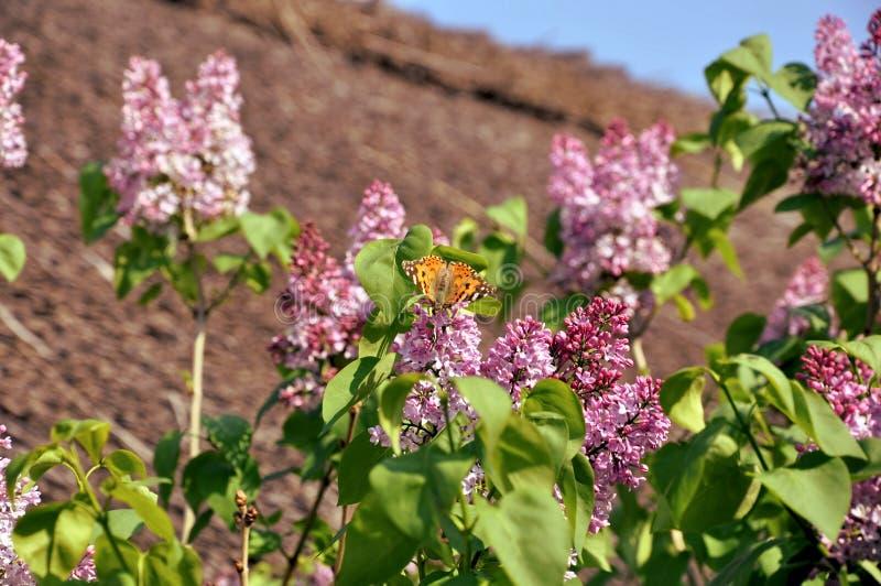 Farfalla su un ramo dei lillà vicino alla vecchia casa immagine stock libera da diritti