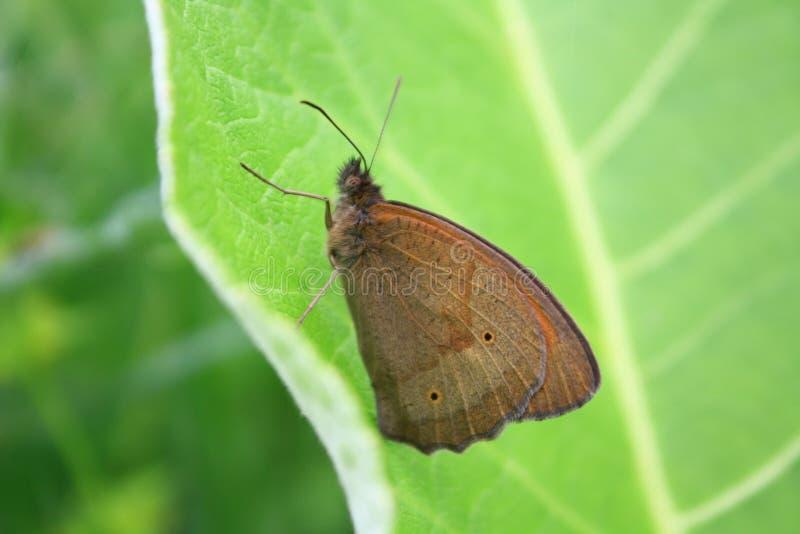 Farfalla su una foglia fotografie stock
