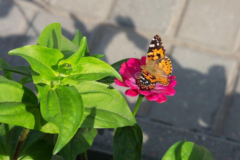 Farfalla su una gerbera del fiore fotografia stock libera da diritti