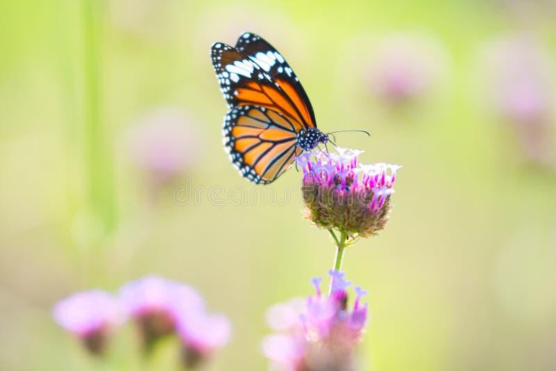 Farfalla sui fiori immagini stock