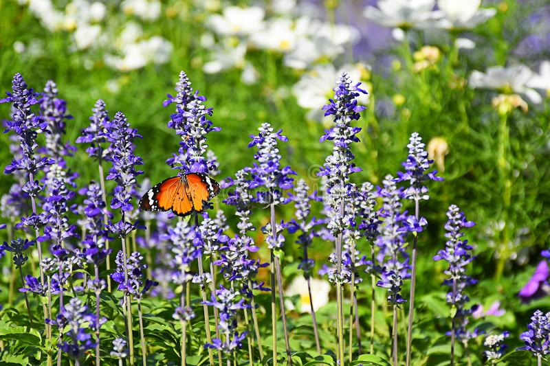Farfalla sui fiori blu di salvia immagine stock libera da diritti