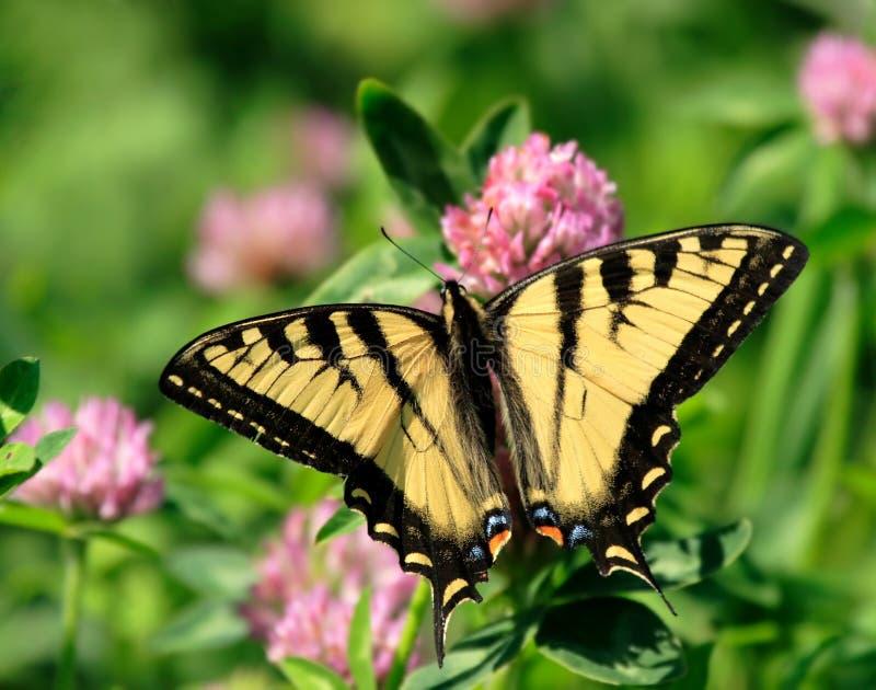 Farfalla sul fiore del trifoglio immagini stock libere da diritti