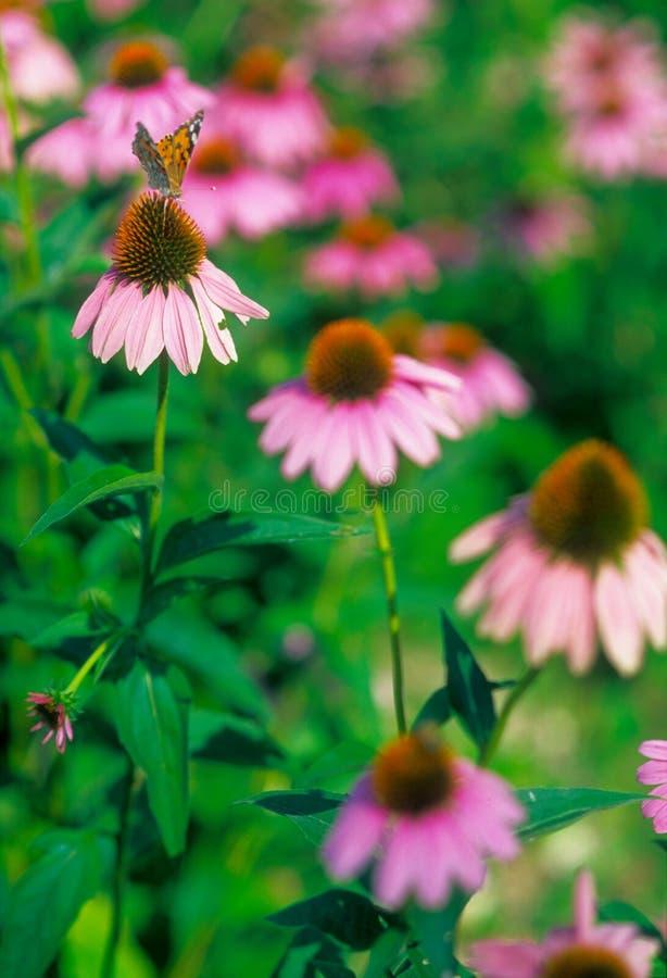 Farfalla sul fiore dentellare fotografie stock libere da diritti