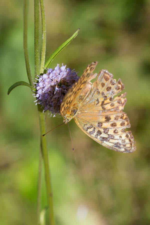 Farfalla sul fiore di estate fotografia stock libera da diritti