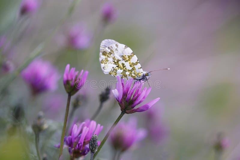 Farfalla sul fiore di fioritura fotografia stock