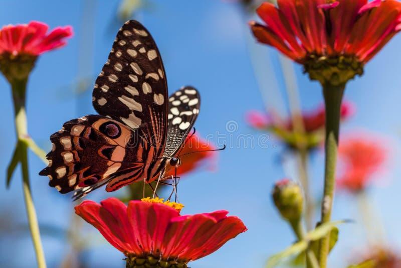 Farfalla sul fiore nel Sudafrica immagine stock