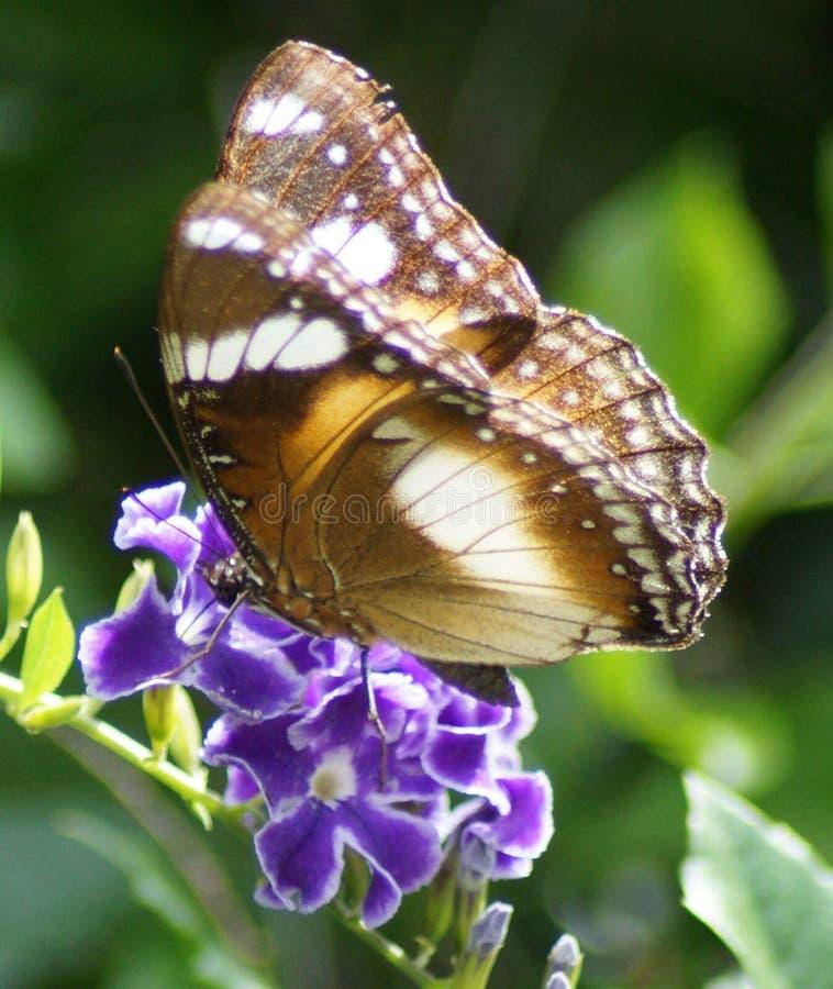 Farfalla sul fiore porpora immagini stock libere da diritti