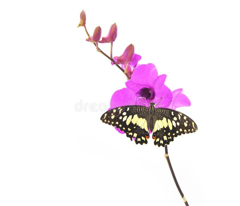 Farfalla sul fiore rosa dell'orchidea fotografia stock libera da diritti