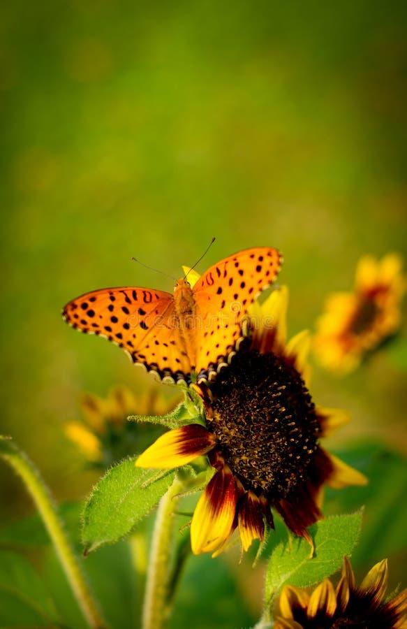 Farfalla sul girasole immagini stock libere da diritti