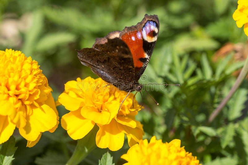 Farfalla sul tagete giallo fotografia stock