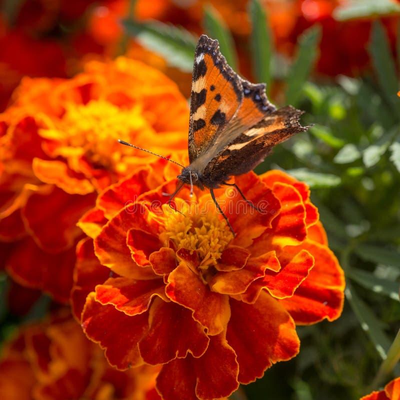 Farfalla sul tagete rosso fotografia stock