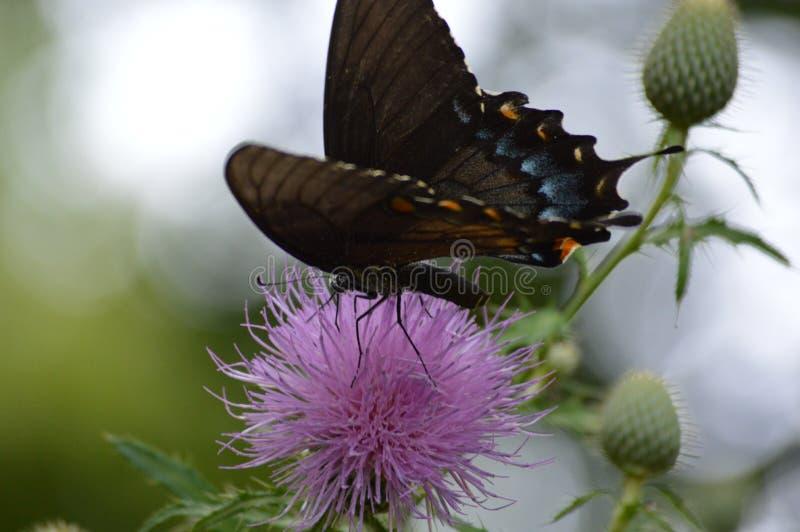 Farfalla sul wildflower rosa del cardo selvatico fotografia stock libera da diritti