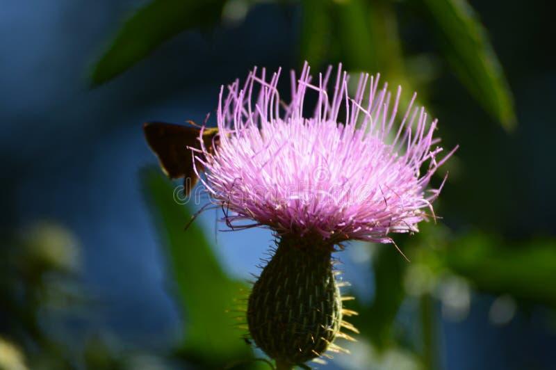 Farfalla sul wildflower rosa del cardo selvatico fotografie stock libere da diritti
