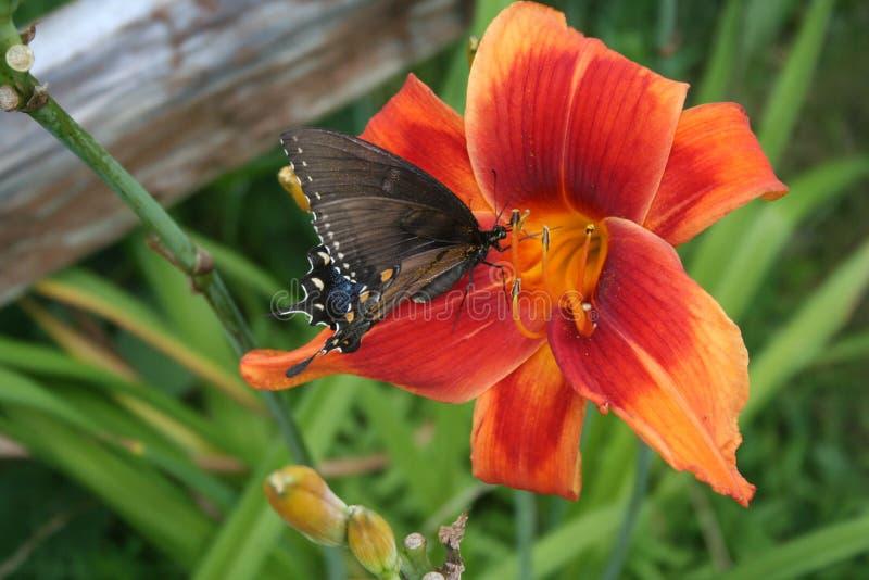 Farfalla sull'emerocallide fotografia stock