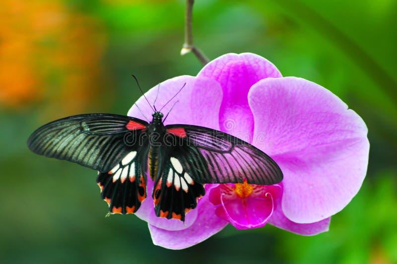 Farfalla sull'orchidea immagini stock