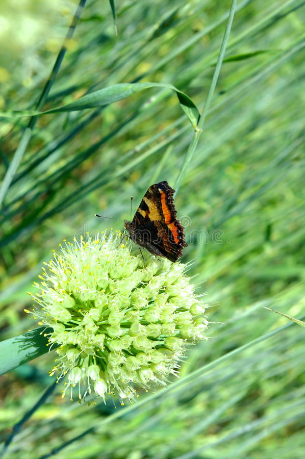 Farfalla sulla cipolla fotografie stock