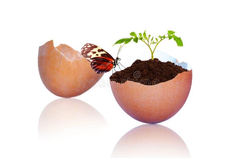 Farfalla sulla plantula che cresce dalle coperture incrinate dell'uovo di Brown fotografia stock