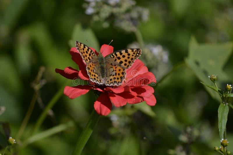Farfalla sulla zinnia fotografia stock libera da diritti