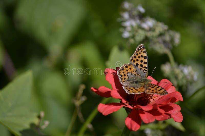Farfalla sulla zinnia immagine stock libera da diritti