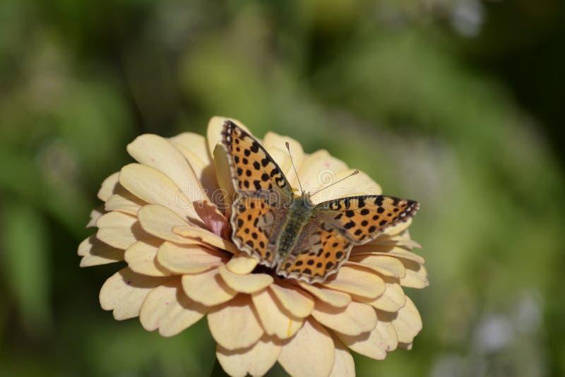 Farfalla sulla zinnia fotografie stock libere da diritti