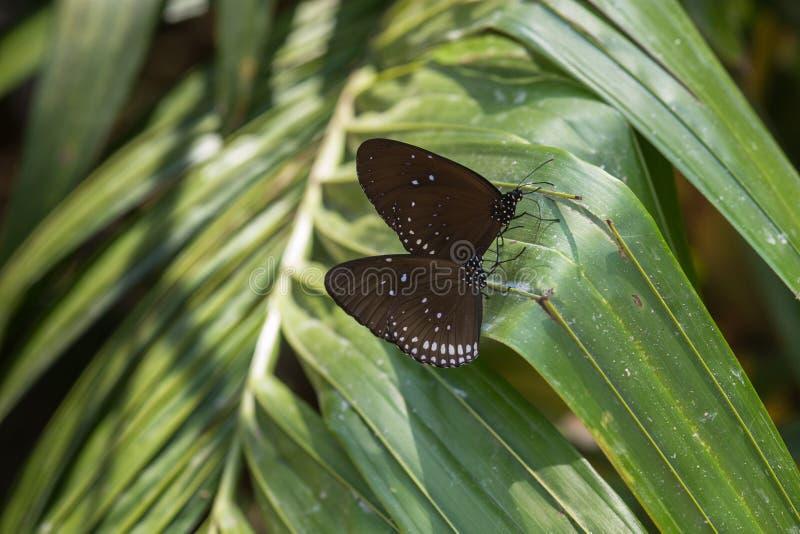 Farfalla - tigre vetrosa blu immagini stock