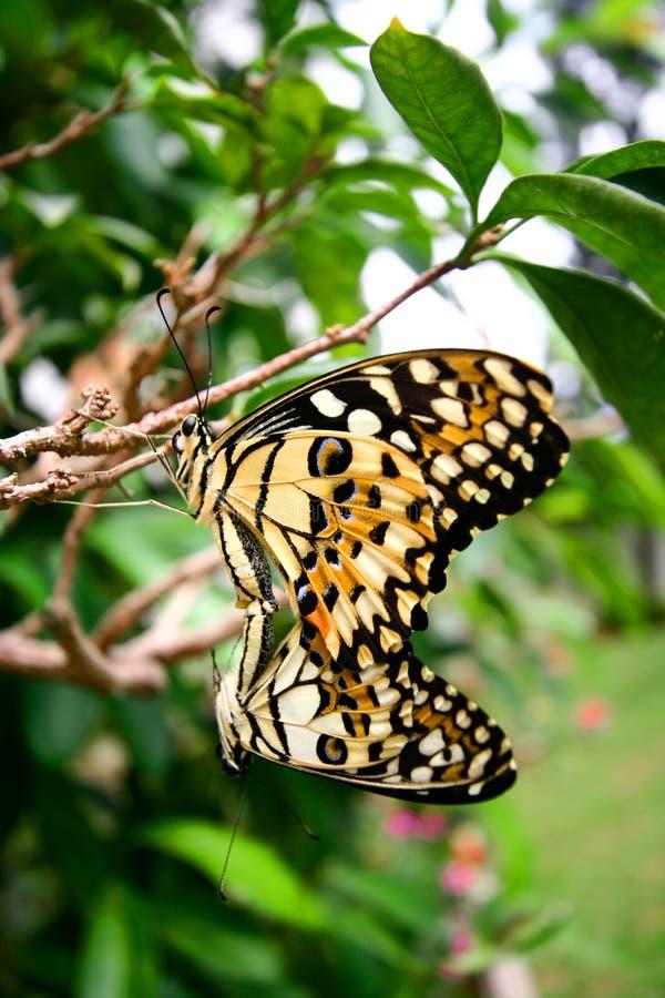 Download Farfalla Tropicale Accoppiamento Immagine Stock - Immagine di colorful, riproduzione: 3893961