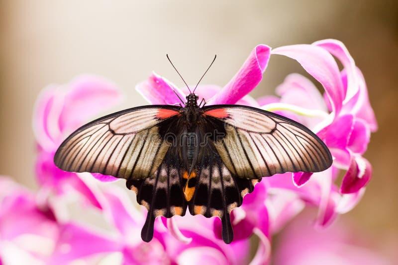 Farfalla tropicale asiatica di Swallowtail che succhia nettare immagine stock