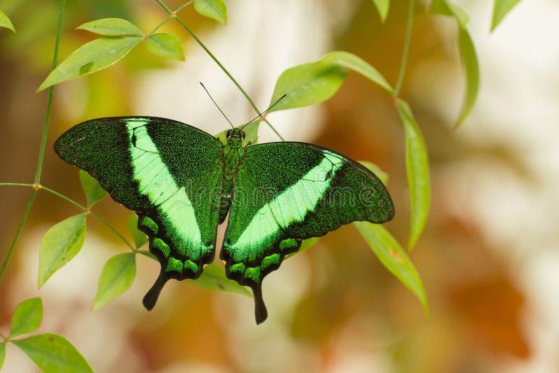 Farfalla tropicale che si siede nella serra, repubblica Ceca fotografie stock libere da diritti