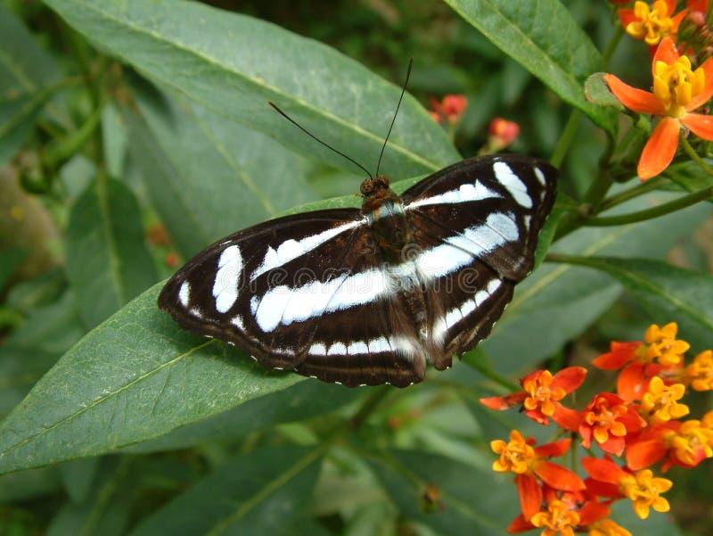 Farfalla tropicale della foresta pluviale fotografia stock