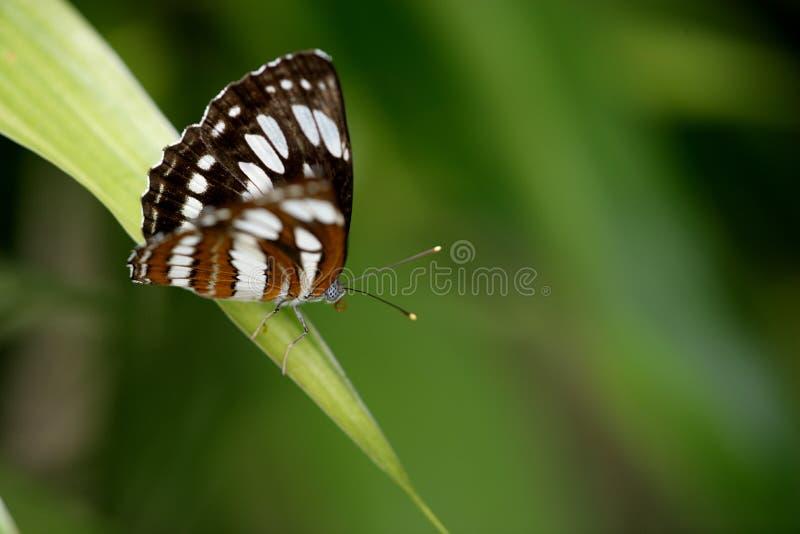 Farfalla tropicale della foresta pluviale immagine stock libera da diritti
