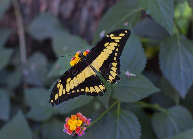 Farfalla tropicale gialla luminosa che si siede su un fiore immagine stock