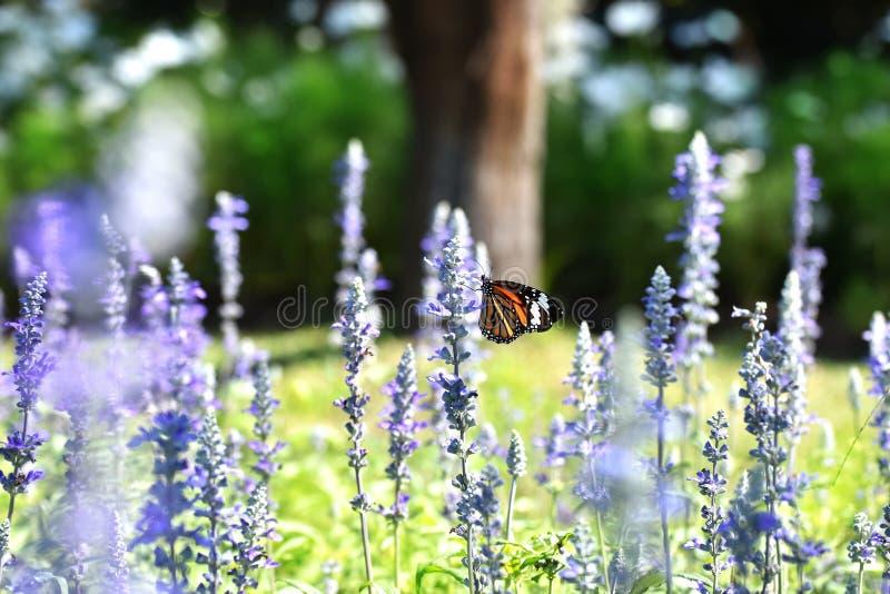 Farfalla in un campo del salvia del blu del fiore fotografie stock