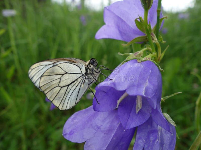 Farfalla in un fiore di campana immagine stock libera da diritti